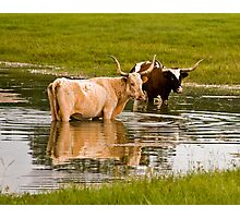 09-128 - Texas Long Horn Cool down in Florida Pond Photographic Print