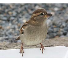 Little Sparrow Photographic Print