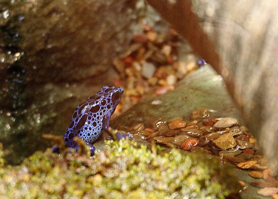 Blue Poison Frog by Laurel Talabere