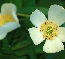 Dewy White Anemone Wildflowers by Bill Spengler