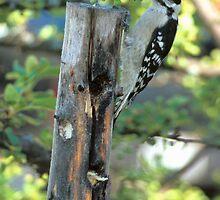 Downy Woodpecker #2 by Bill Spengler