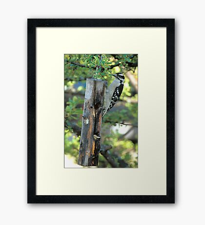 Downy Woodpecker #2 Framed Print