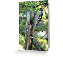 Downy Woodpecker #2 Greeting Card