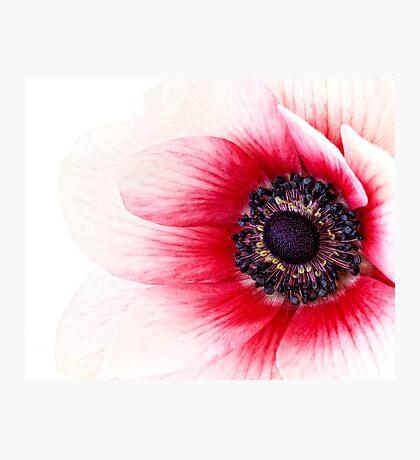 Red Anemone Photographic Print