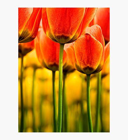 Garden of Tulips Photographic Print