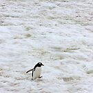 Gentoo Penguin ~ &quot;It&#x27;s a long walk home&quot; by Robert Elliott