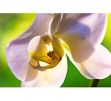 Lavender and White Hawaiian Phalaenopsis Moth Orchid Photographic Print