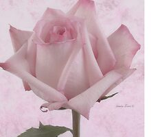 Single Pink Rose Blossom by Sandra Foster