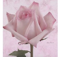 Single Pink Rose Blossom Photographic Print