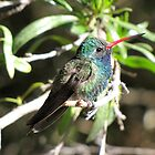 Broad-billed Hummingbird ~ Male II by Kimberly P-Chadwick