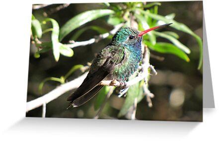 Broad-billed Hummingbird ~ Male II by Kimberly Chadwick