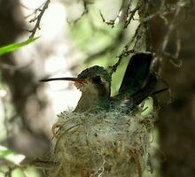 Broad-billed Hummingbird ~ Nesting Female by Kimberly Chadwick