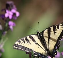 Western Tiger Swallowtail - Northern CA by Aggiegirl