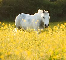 Buttercup Sunset by nics-pics