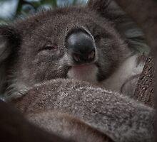 Koala by Tom Newman