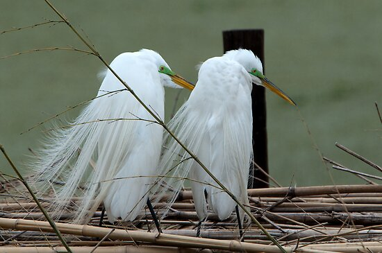 Avery Island Egrets--Marital Bliss by Bonnie T.  Barry
