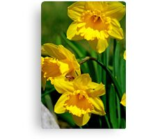 Honey Bee And Daffodils Canvas Print