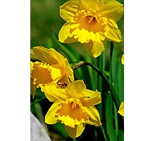 Honey Bee And Daffodils Photographic Print