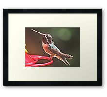 YOUNG MALE WHITE EARED HUMMINGBIRD Framed Print