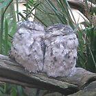 FROG MOUTHED OWLS..AUSTRALIA ZOO 2008 by KiwigirlKara