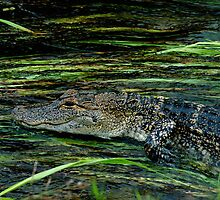 Gator in the water by Dennis Stewart