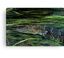 Gator in the water Canvas Print
