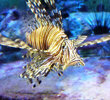 The Lionfish watches me by LibraryDrone