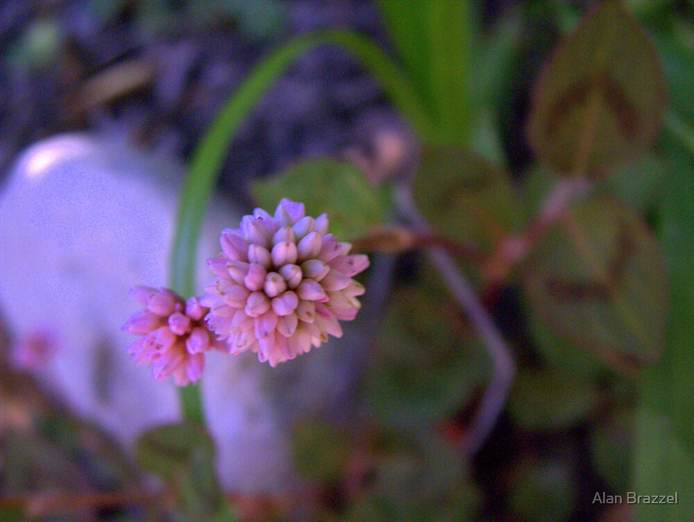 Mace Flower by Alan Brazzel