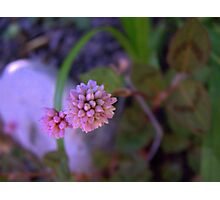 Mace Flower Photographic Print