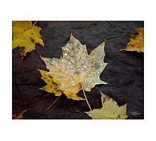Dew Drop Maple Leaves Photographic Print