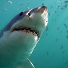 Great White Shark - South Africa by Sean Elliott
