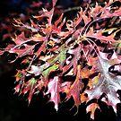 Autumn Leaves by sallysphotos