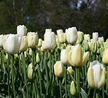 Tall White Tulips  by TraceyLea