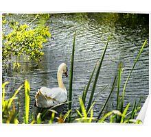 White Swan Evening Light Poster