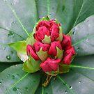Red Rhodo Bud Emerging by kathrynsgallery