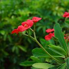Little Red Velvet Beauties - Flowers in Florida by Christina Spiegeland