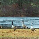 Geese by crazyhorse557