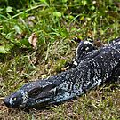 Lace Monitor by Lawrie McConnell