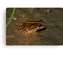 Rice Paddy Frog 2 Canvas Print