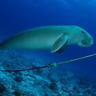 Dugong, Cocos Island, Indian Ocean, Australia by Sean Elliott