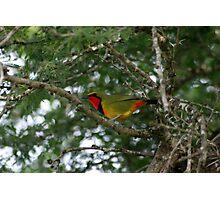 Gorgeous Bush - Shrike (Telophorus viridis) Photographic Print