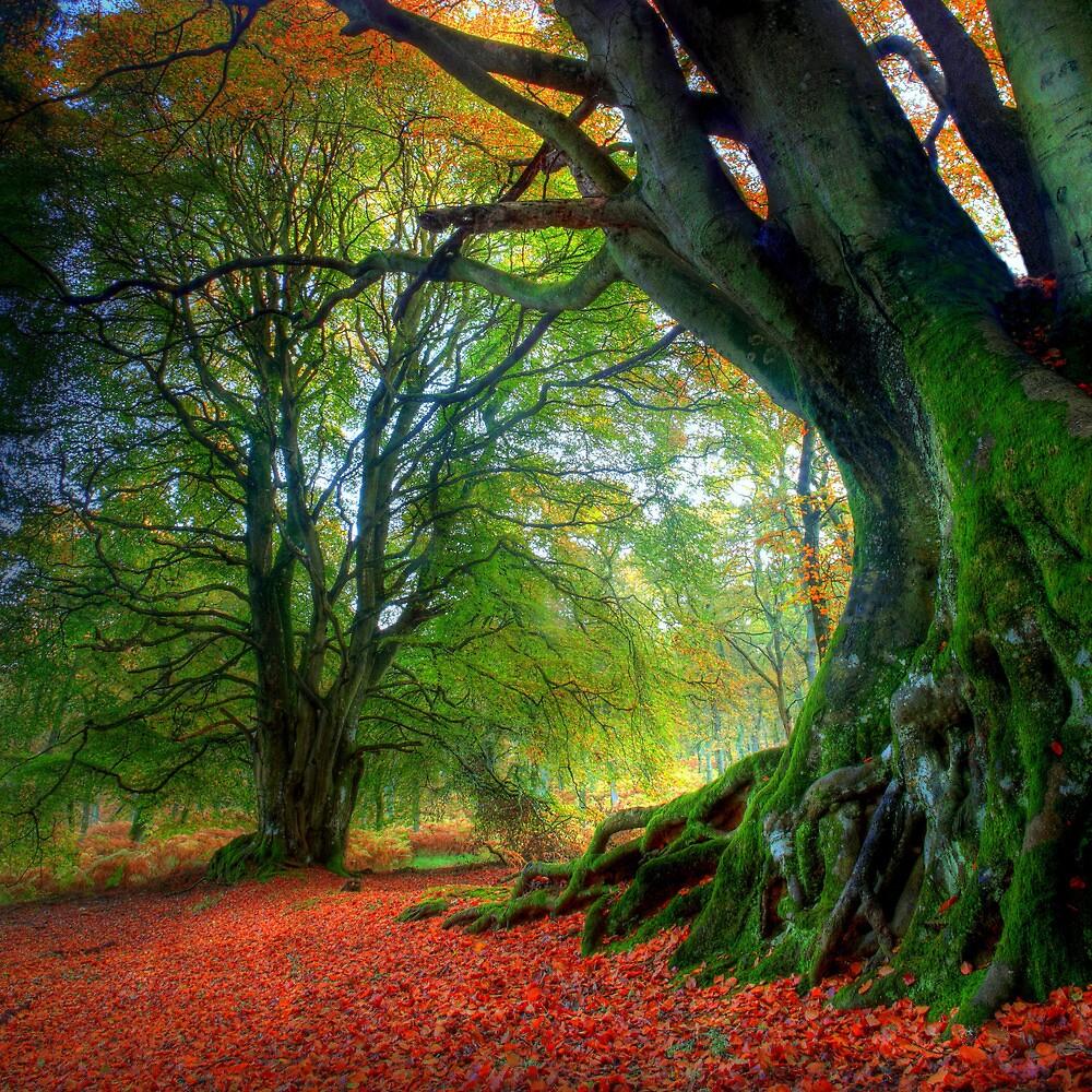 Autumn Beech by Angus Clyne