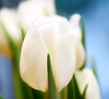 White tulip_2 by yaDes