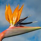 Stelitzia-Bird of Paradise by DPalmer