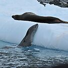 Sea leopards in the Peninsula Antarctica by Marieseyes