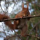 Parde Deux ....  (Red Squirrel) by ©FoxfireGallery / FloorOne Photography