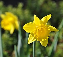 A Daffodil In Time by scenebyawoman
