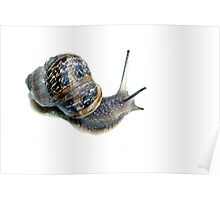 Isolated studio shot of a Common Snail Poster
