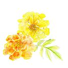 French marigolds orange yellow watercolor art by Sarah Trett