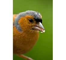 Chaffinch eating Photographic Print
